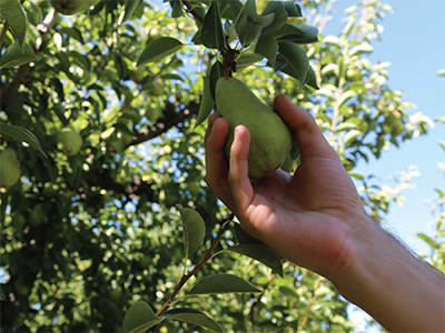 hand picking a Bartlett pear from tree